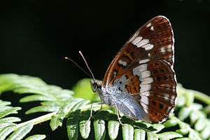Limenitis camilla - Both, Oaken Wood, Surrey, England