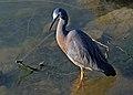 White faced heron.(Ardea novaehollandiae) (10221422273).jpg