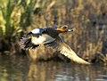 Wigeon (Anas penelope) drake in flight.jpg