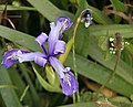 Wild Purple Iris (2627817556).jpg