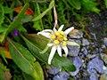 Wild edelweiss flower.jpg