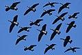 Wild goose flock (37263204484).jpg