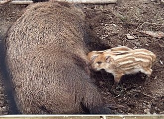 Juvenile (organism) - Young wild boar suckling from adult female. Here, juvenile colouring acts as a form of camouflage