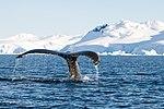 Wilhelmina Bay Antarctica Humpback Whale 8 (32394703127).jpg