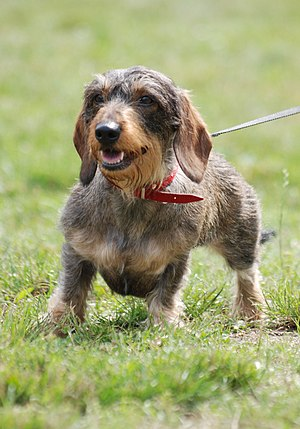 Wire-haired Dachshund in dog show in Racibórz