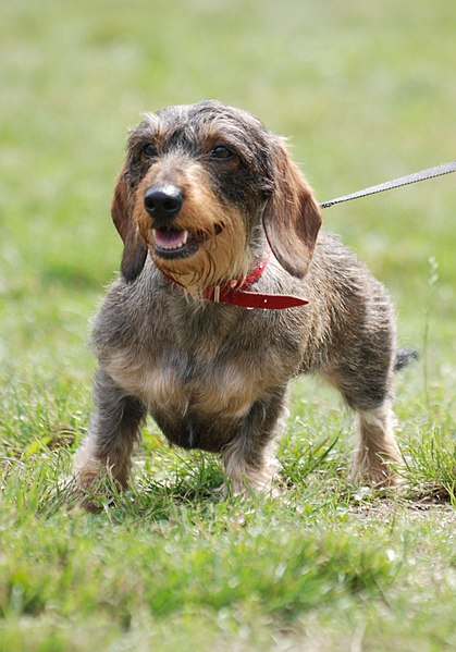 Dachshund dog on walk