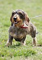 Wire-haired Dachshund R 01.JPG