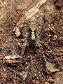 Wolf Spider (48377389181).jpg