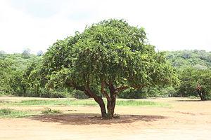 300px-Wood-apple_tree.JPG