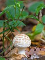 Woodland fungus (10493297515).jpg