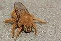 Xylocopa-varipuncta-male.jpg