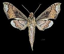 Xylophanes zurcheri MHNT CUT 2010 0 216 La Troncal Cañar Ecuador male ventral.jpg