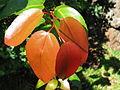 Xylosma hawaiiense (5437479658).jpg