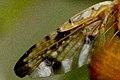 Xyphosia.miliaria.wing.detail.jpg