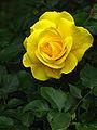 Yellow-Rose-C4830.jpg