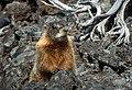 Yellow-bellied Marmot (Rockchuck) (2abd69e1-835b-4618-b2d5-d67dc7d22a46).jpg