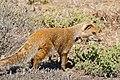 Yellow Mongoose (Cynictis penicillata) (32214557333).jpg