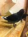 Young dark checker hen- 2014-02-08 16-50.jpg