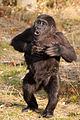 Young gorilla drumming chest (3956000911).jpg