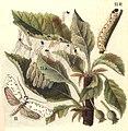 Yponomeuta malinellus ugglan.jpg