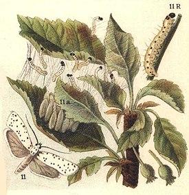 Hyponomeuta malinella