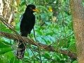 Yucatan Jay (Cissilopha yucatanica) juvenile (6789000423).jpg