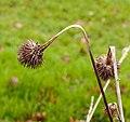 Zaaddoos Echinacea purpurea (zonnehoed) 05.jpg