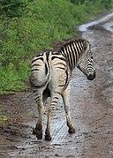 Zebra in Hluhluwe–Imfolozi Park 06.jpg