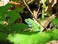 Zelembać - Lacerta viridis1.jpg
