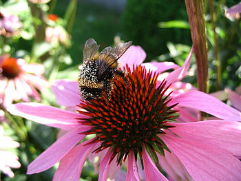 Zoom on pollen-covered bumblebee on Echinacea ...