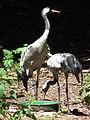 Zoo Landau Europäischer Kranich.JPG