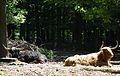Zwei Hochlandrinder im Wildpark Pforzheim.JPG