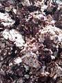 """""""A close up of Tamarindus indica fruit"""".jpg"""