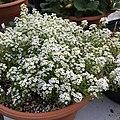 'Giga White' alyssum IMG 5035.jpg