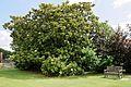 'Goliath' Magnolia grandiflora tree in flower at Goodnestone Park Kent England 3.jpg