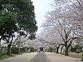 (茨城県) 結城城跡公園。派手さはありませんが、市民の桜の名所として親しまれているようです。 - panoramio.jpg
