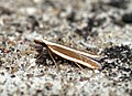 (0862) Juniper Webber (Dichomeris marginella) (5937087537).jpg