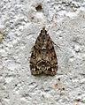(1338) Eudonia lacustrata (18637868870).jpg