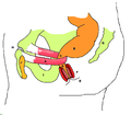 (155) Stylized depiction of action of puborectalis sling.png