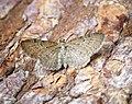 (1828) Satyr Pug (Eupithecia satyrata) (34599969590).jpg