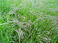 (Unmowed) grass 6.JPG