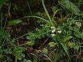 ¿ Lysimachia pyramidalis ? (7851401210).jpg