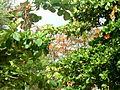 Árvore-Praça da Igreja São Francisco-manhã.JPG