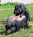 Świnia wietnamska akt.jpg