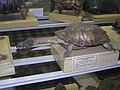 Аргентинская змейношейная черепаха.jpg