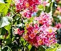 БНаціональний ботанічний сад ім. М.Гришка Гіркокаштан криваво-м'ясний 05.jpg