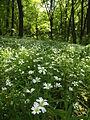 Голосіївський ліс21.JPG