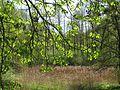 Голосіївський ліс IMG 6076.jpg