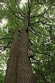 Дуб черешчатый - 2.jpg