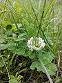 Конюшина повзуча ( лат. Trifolium repens). Багаторічна трав'яниста рослина родини бобових, цінна кормова рослина.jpg